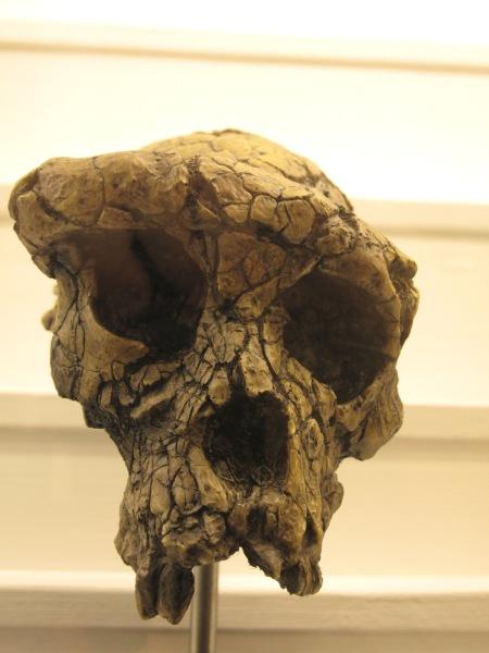 Sahelanthropus tchadensis Hallado en Chad (2001)